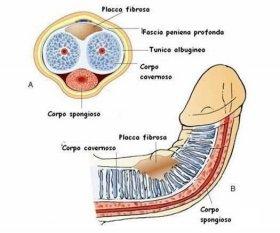Curvatura del pene: di cosa si tratta e perché succede? – Sesso - Blog - L'Espresso